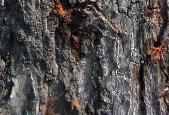 Заболонники на вязах: a – кора вяза, заселенного жуками; b – заболонник на наручных часах; с – буровая мука возле входного отверстия в коре