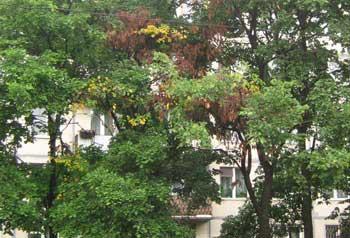Разнообразие цветовой окраски листьев на усохших ветвях вяза: рыжая, желтая, коричневая.
