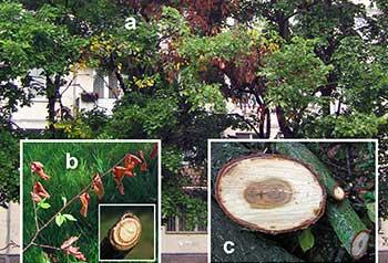 Признаки голландской болезни: a – усыхание отдельных ветвей в кроне; b – скрученные листья рыжего цвета; с – темные кольца на спиле ветвей и ствола